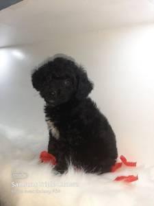 Alger-Animaux-caniche-black-toy-poodle-1-mois
