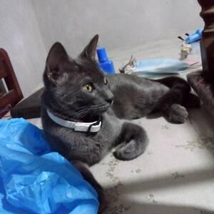 Alger-Animaux-بيع-قطة-pure-bleu-russe