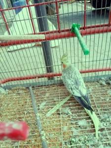 Boumerdes-Animaux-oiseau-Coktiel