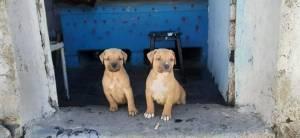 Alger-Animaux-chiots-Pitbull-terrier-40jours-pure-race