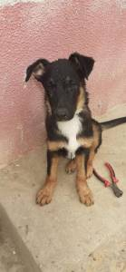 Chlef-Animaux-Chiens